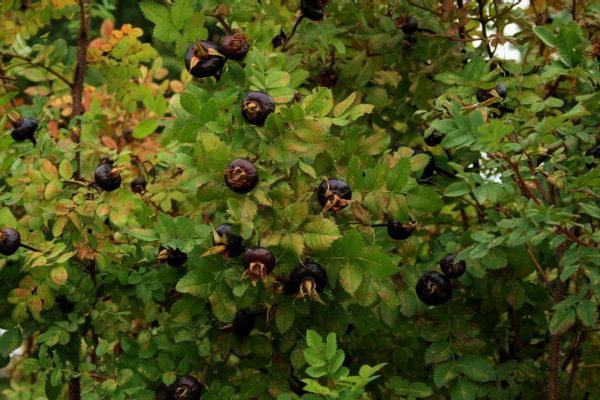 Созревшие плоды черного шиповника на кусте