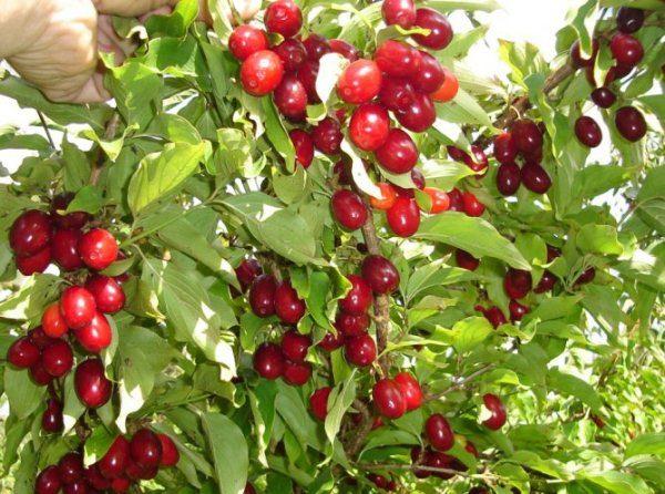 ягоды кизила помогают при многих самых распространенных заболеван