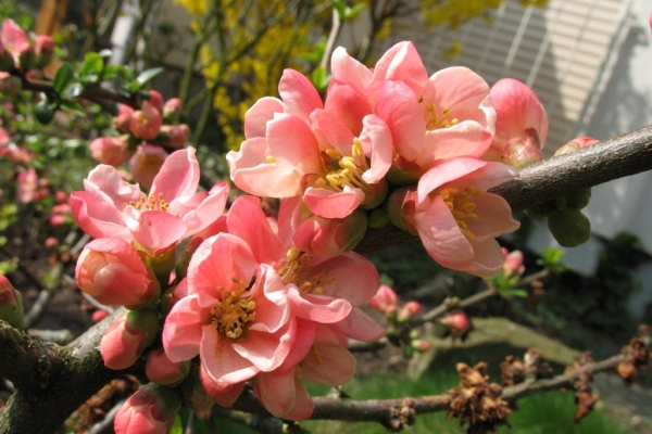 В средней полосе России выращивают низкорослые сорта высотой до 1 м, с дугообразными ветвями и раскидистой кроной
