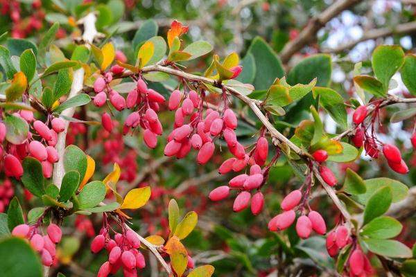 Ботаническое описание барбариса обыкновенного, полезные свойства, посадка и уход