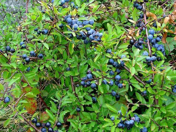 Куст терна с плодами