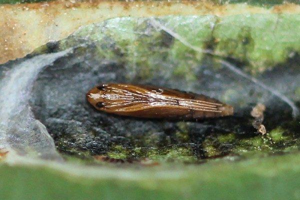 Личинка каштановой минирующей моли