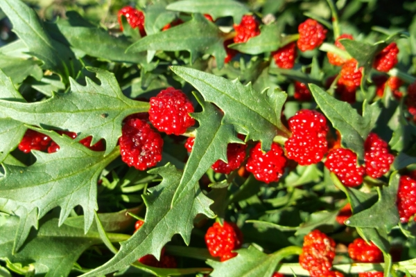 Земляничный шпинат: описание растение и применение