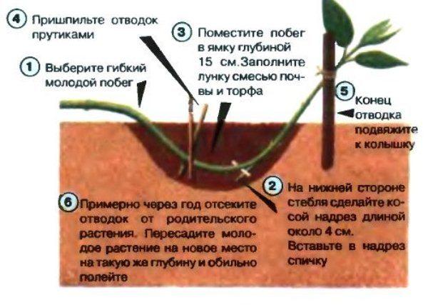 Размножение барбариса отводками