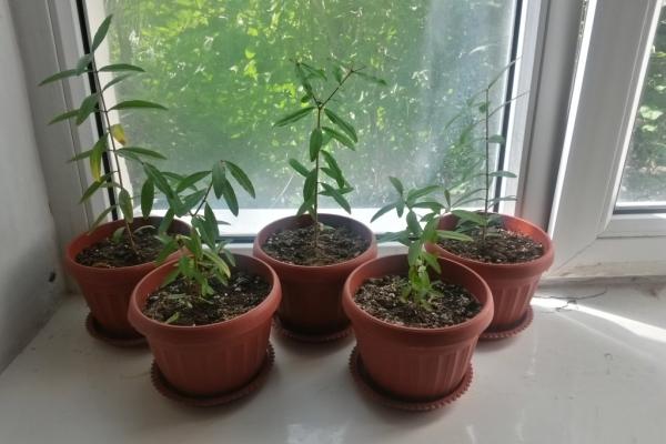 Чтобы вырастить карликовый гранат, можно взять семена, купленные в магазине, или черенки