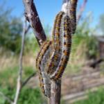 Гусеница Боярышница на абрикосе