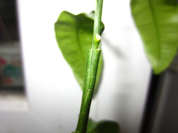 Прививка мандарина в расщеп