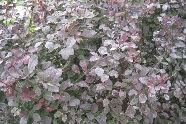Основную опасность для растения представляют ржавчина, мучнистая роса и барбарисовая тля