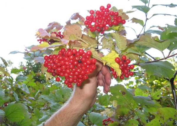 Срезанные грозди калины лучше связать пучками или укладывать в один слой