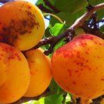 Кольцевая оспа на плодах абрикосы