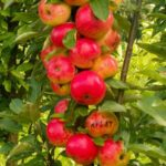 Фруктовые деревья для сада названия и фото