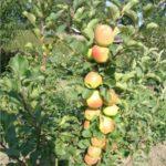 Колоновидная яблоня Болеро