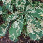 Листья каштана повреждены минерой