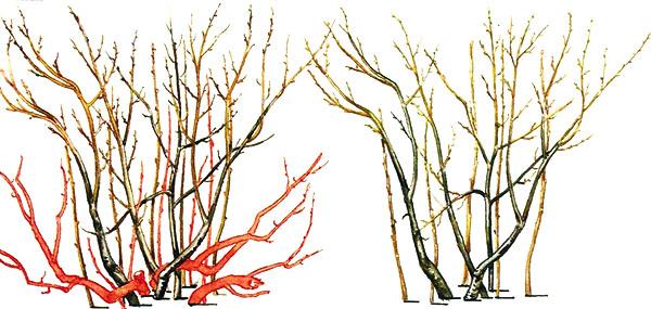 Обрезка барбариса в живой изгороди