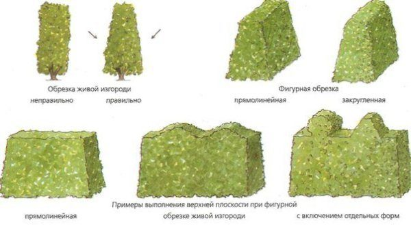 Схема обрезки и стрижка живой изгороди