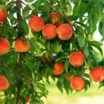 Персики являются сильным аллергеном