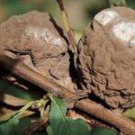 Абрикоса поражена плодовой гнилью