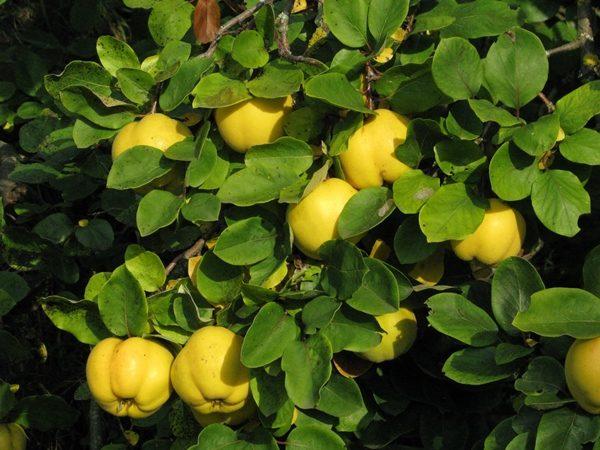 Куст Айвы с плодами