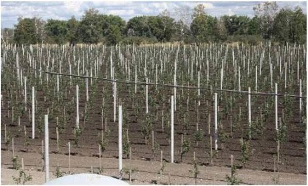 Расположение колоновидных плодовых деревьев на участке