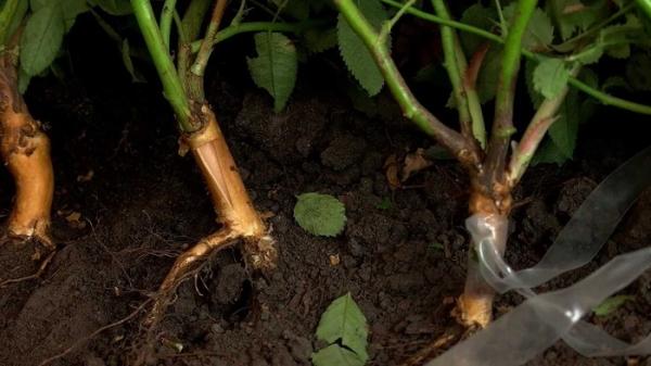 Шиповник можно размножать не только семенами, но и зелеными черенками, а также отводками