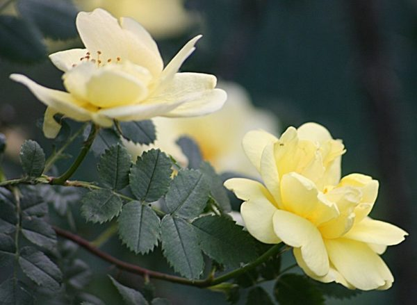 Цветы переродившейся в шиповник розы