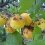 Ржавчина на плодах абрикосы