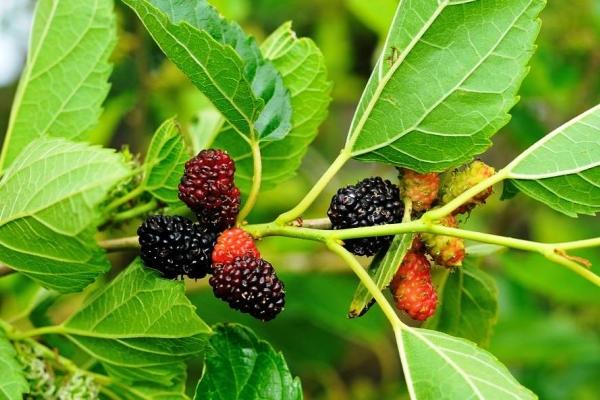 Тутовое дерево: характеристики и полезные свойства листьев и плодов