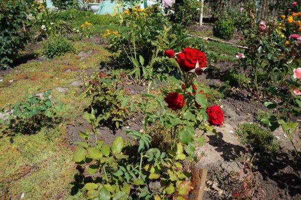 Розовый куст красного цвета на садовом участке