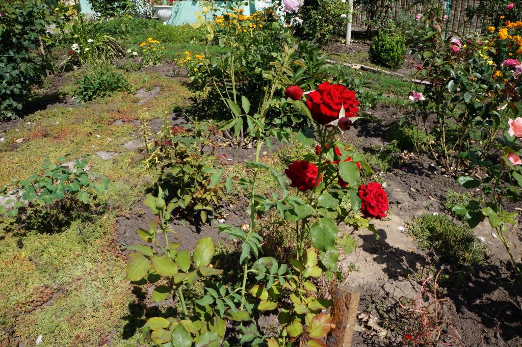 Выращивание шиповника на розы 457