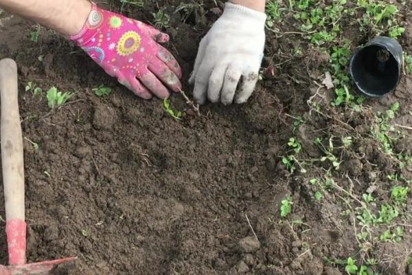 Предпочтительней сажать айву весной, при осенней посадке растение может не успеть укорениться и вымерзнет