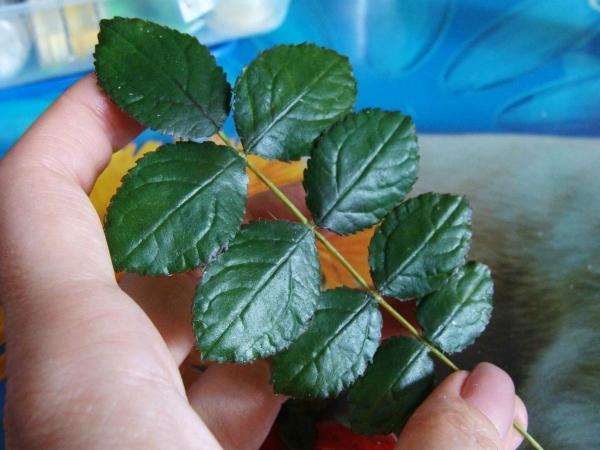 Отвар листьев шиповника избавит от болей при гастрите и язве