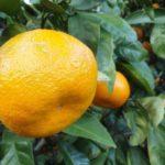 Скороплодный мандарин Уншиу