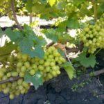 Виноград категорически противопоказан при гастрите