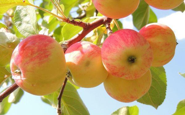 Яблоки рекомендуются при хронической форме гастрита