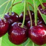 Ягоды вишни и черешни богаты железом