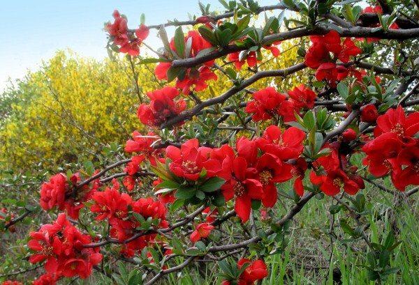 При кашлях, бронхитах, трахеитах полезны цветы айвы японской