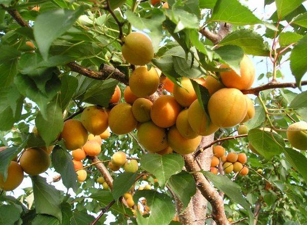 Плоды абрикоса созревают на ветках