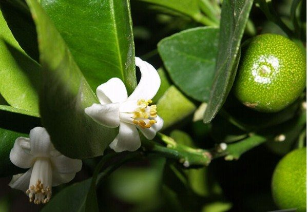 В первый год плодоношения мандарина часть цветков прищипывают