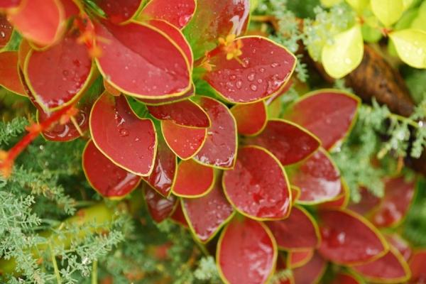 Достоинствами растения являются декоративность, устойчивость к болезням, морозам