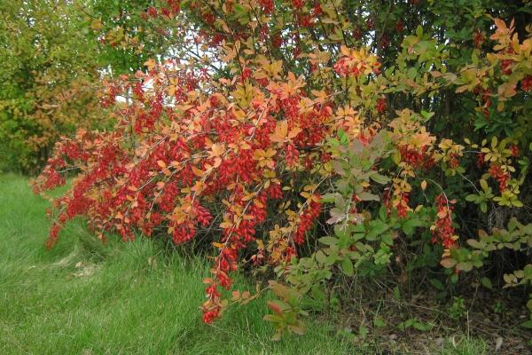Барбарис обыкновенный - колючий кустарник, цветет в апреле-мае, в сентябре-октябре созревают ярко-красные продолговатые ягоды