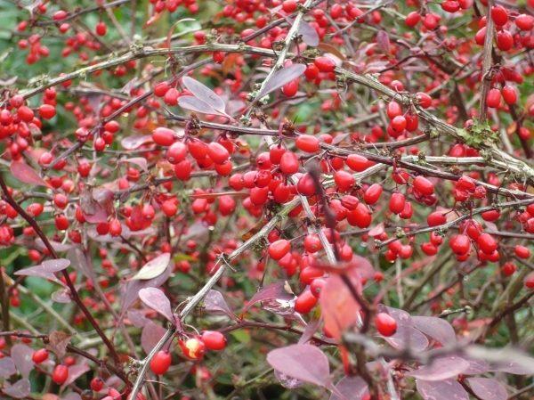 Куст барбариса Тунберга Атропурпуреа с ягодами