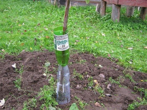 Защита молодых деревьев от грызунов и зайцев