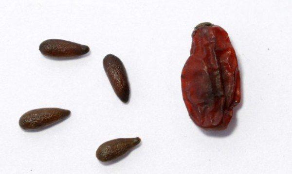 Косточка барбариса