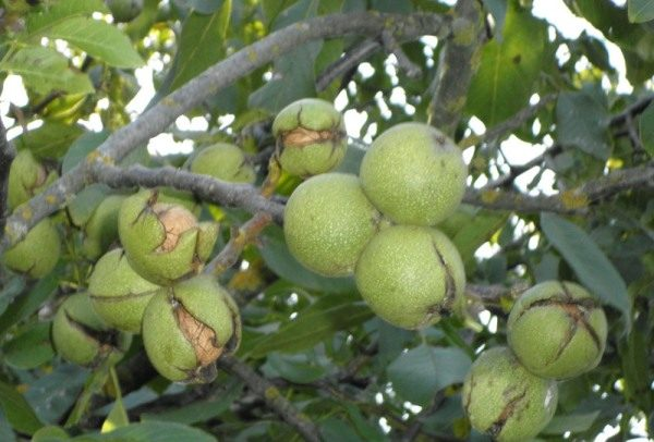 Зрелые грецкий орех