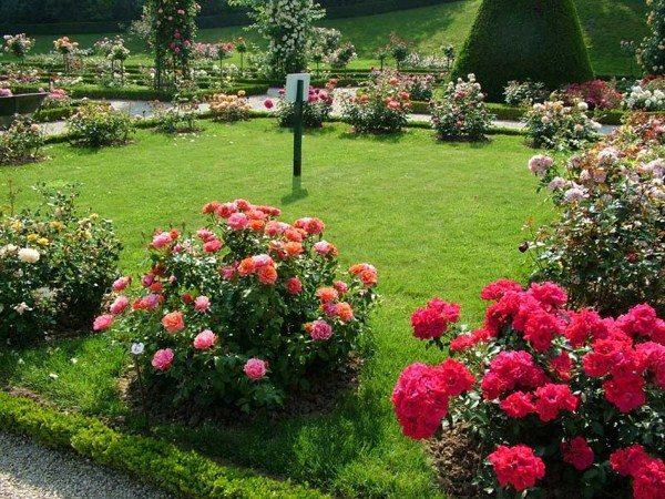 Розарий создан с помощью прививки розы на шиповник