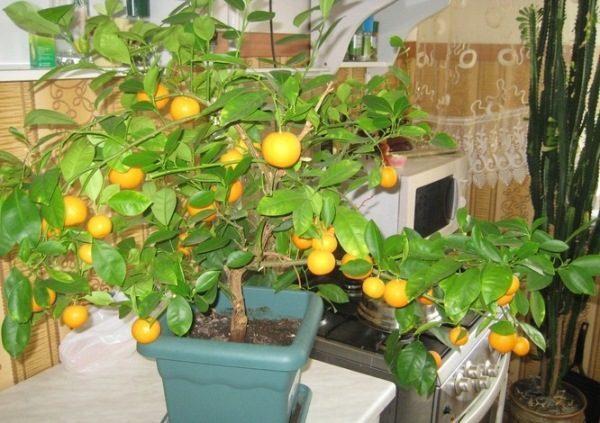 Как правильно выращивать мандариновое дерево в домашних условиях?