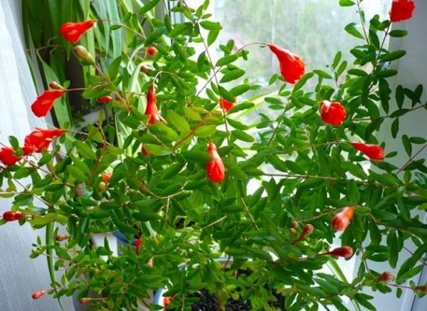 Карликовый гранат выращивают дома как комнатный цветок
