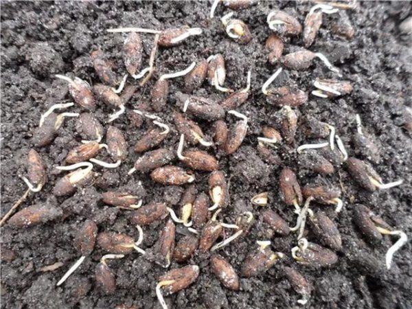 Проросшее семя кизила