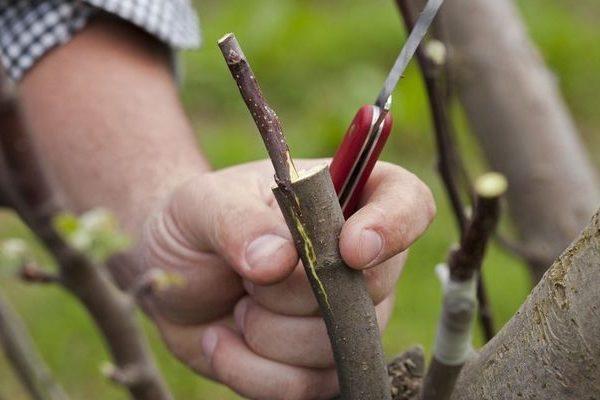 Как и когда проводится окулировка плодовых деревьев