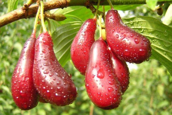 Ягоды кизила улучшают аппетит и восстанавливают обмен веществ в организме человека